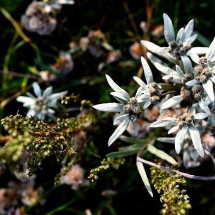 Edelweiss - In der Mongolei gibt es unendliche viele Edelweisswiesen. davon kann man in Österreich nur träumen.