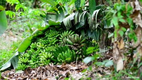 Geheimes Bananenlager unter Bananenblättern...