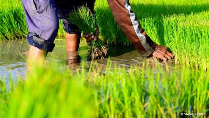 Umsetzen der Reis-Setzlinge vom Pflanzfeld in das Reisfeld per Hand.