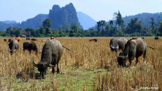 Die Büffel sind irgendwie immer völlig entspannt.