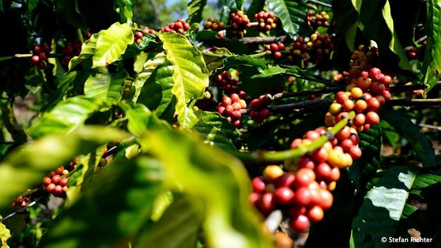 Die Reifen Früchte der Kaffeepflanze.