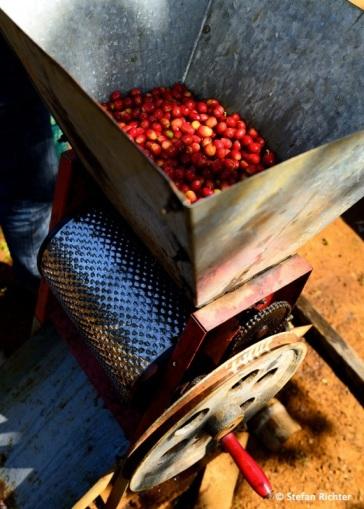 """Haut und Fruchtfleisch der Kaffeefrüchte werden mit einem so genannten """"Entpulper"""" entfernt und dann 24 Stunden geschwemmt."""