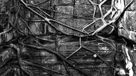 Baumwurzeln ziehen sich wie Spinnweben über die Mauer.