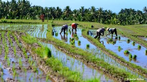 Ausflug in die Reisfelder. Der Reisanbau hat auf Bali eine lange Tradition.
