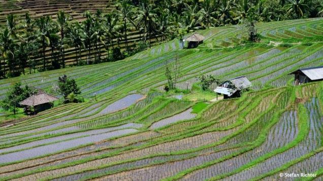 Auf einem Viertel der Inselfläche Balis wird Reis angebaut.