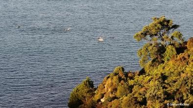 Die Delfine spielen in der Abendsonne.