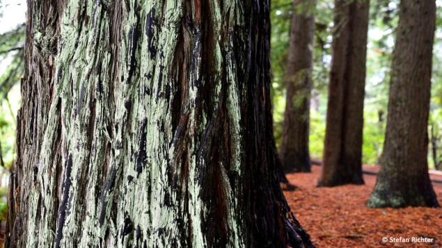 Redwood Forest.