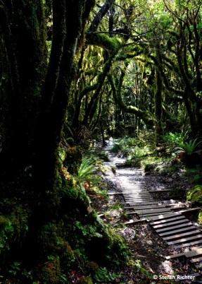 Durch den Wald führt der Weg auf den Pouakai Circuit.