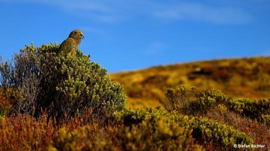 Ein Kea. Sehr gefräßig.