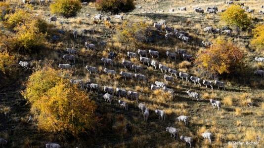 Flucht der Schafe. Vor uns. Haha.