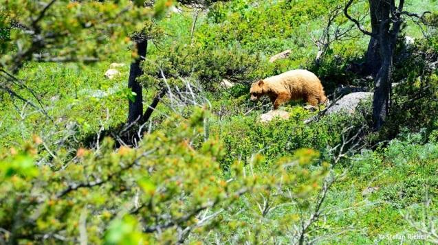 Und in Bear Country. Der Grizzly war gut aus der Ferne zu beobachten.
