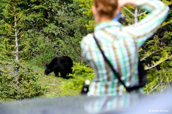 Dem Schwarzbären wird ziemlich auf die Pelle gerückt.