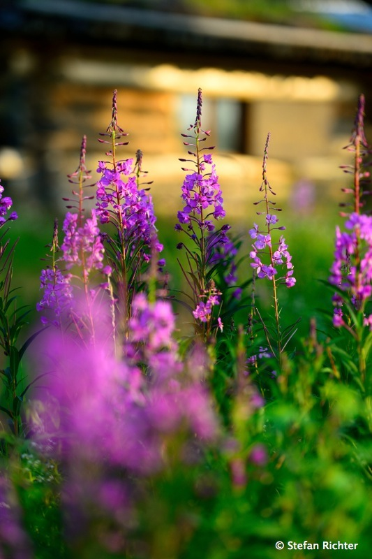 Fireweed flowers.