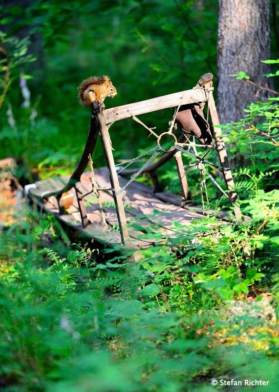 Auf einem alten Holzschlitten hat es sich ein Eichhörnchen gemütlich gemacht.