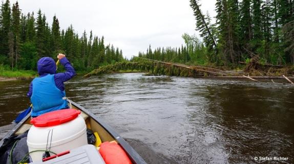 Herabhängende und umgefallene Bäume erfordern ein wenig Navigation und sind nicht ganz ungefährlich.