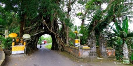 Bunut Bolong - Die Straße durch den Baum.