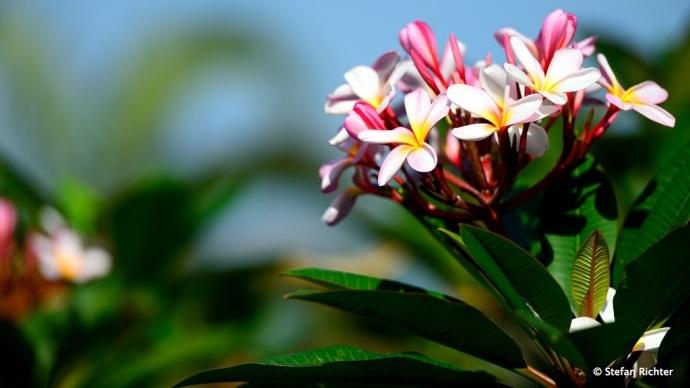 Frangipani - so heißt die Blume.