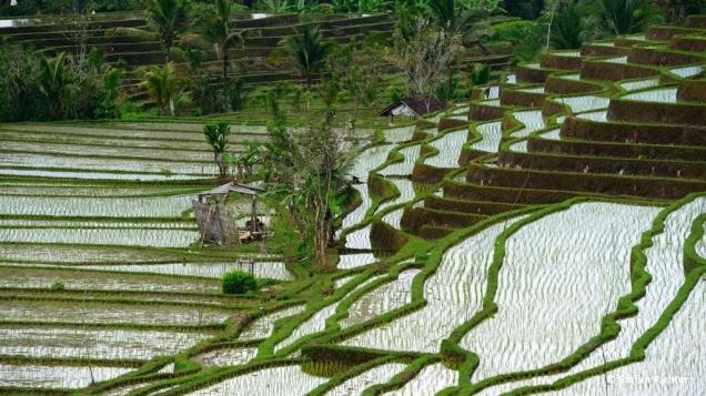 Die Reisterrassen werden von Hand bewirtschaftet und täglich gepflegt.