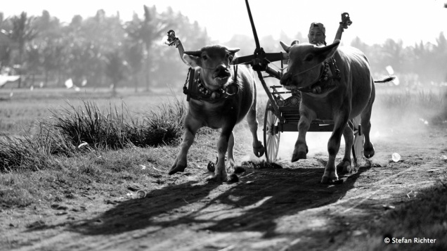 Bull Race. Interessante Tradition und nur im Nordwesten von Bali.