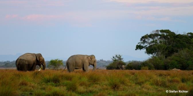 Elephant-Watching ohne Safari in Sri Lanka.