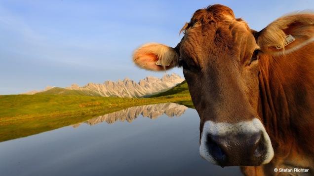 Die Kuh möchte auch aufs Bild.