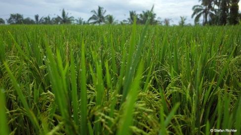 Der Reis steht kurz vor der Ernte.